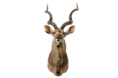 AFRICAN KUDU TAXIDERMY XXXL